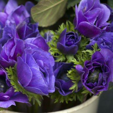 Blue anemones coronaria