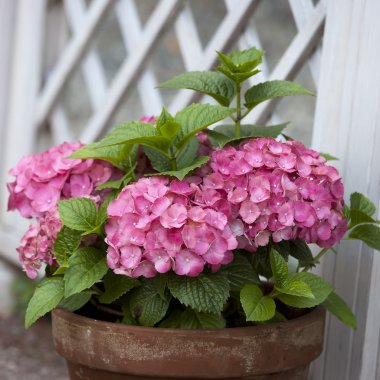 pink hydrangea in the pot at the white fence