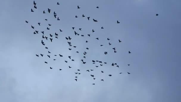 létání hejna holubů