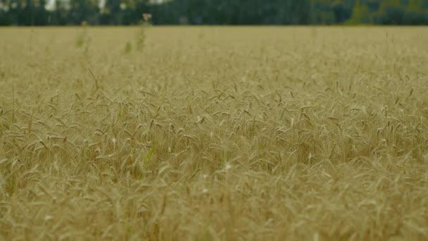 pozadí zrání uši žluté pšeničné pole na sunset Gandalfa oranžové pozadí kopie prostor nastavení sluneční paprsky na obzoru venkovských louce zblízka příroda Foto představu o bohatou sklizeň