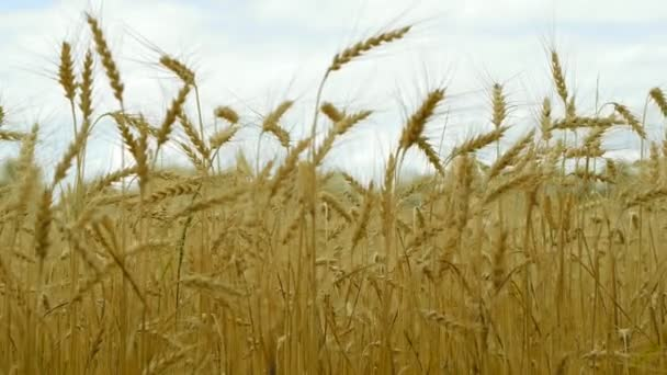 Womans hand touch wheat ears