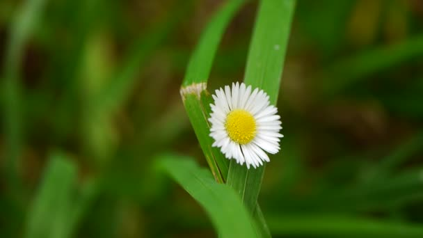 camomile flower on green