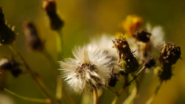 zavřete makro Pampeliška semena připravena k letu