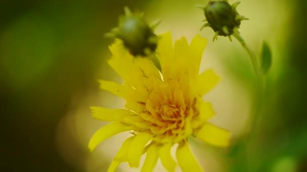 pohled shora žluté pampelišky květiny