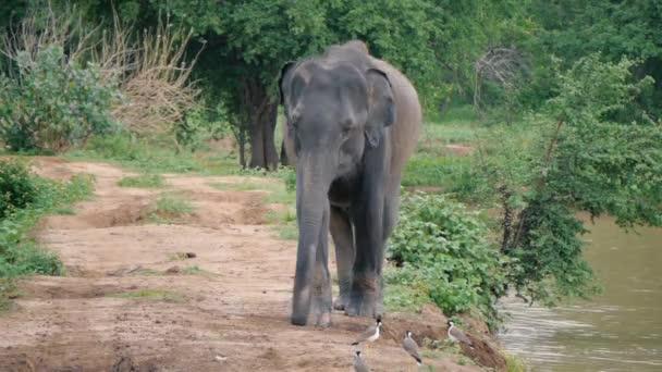 Elefánt futó kamera a Srí Lanka-i nemzeti park