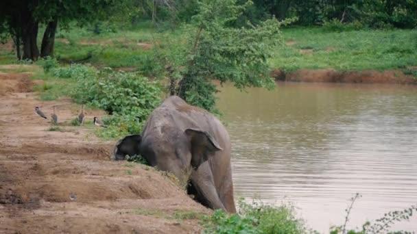Elefánt sár splash és véve fürdő folyóba, Sri Lanka-i nemzeti park
