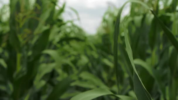 Kukuřičné pole a obloha s krásné mraky, kukuřičné pole