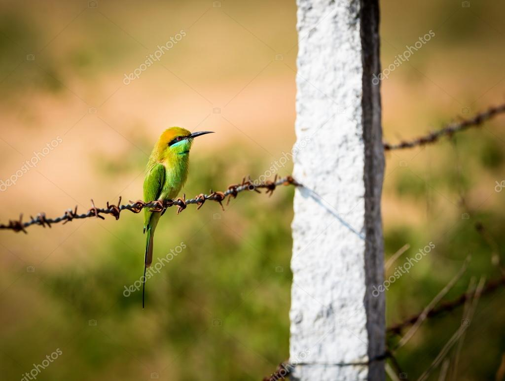 Green Bee eater perched on a barbed wire fence.