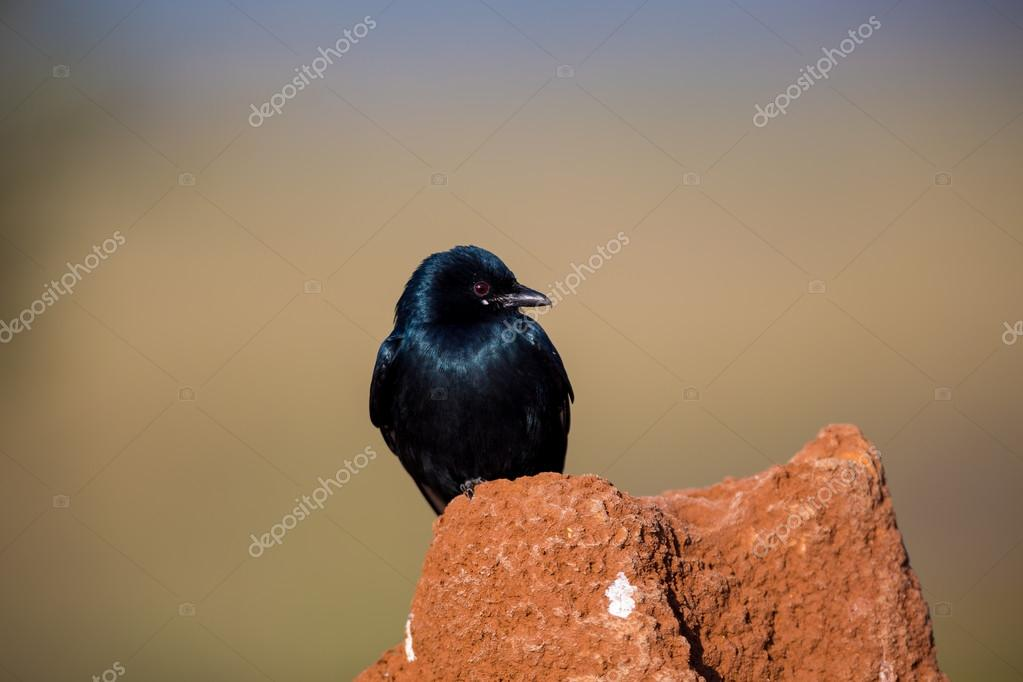 Black Drongo perched in a field in India.