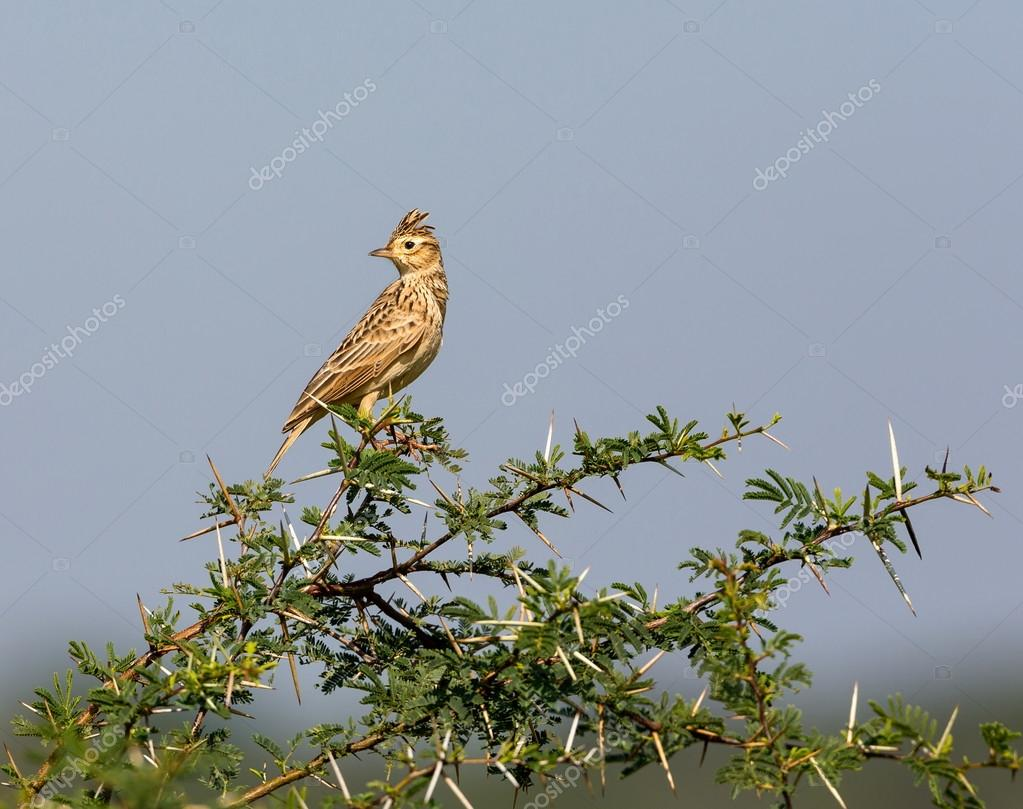 The Malabar lark is common in the Indian countryside.