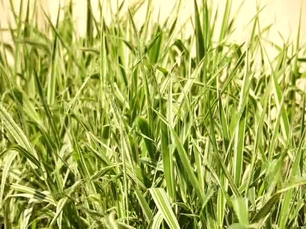 Tall green lush grass, swaying in the wind, the rustle of greenery in the daytime summertime.