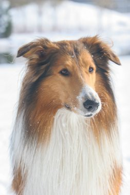 Scotland shepherd dog