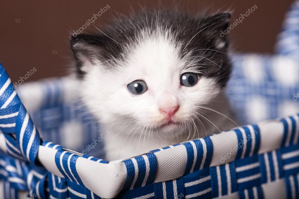 Gatto Persiano Bianco E Nero Foto Stock Moaimages 103954918