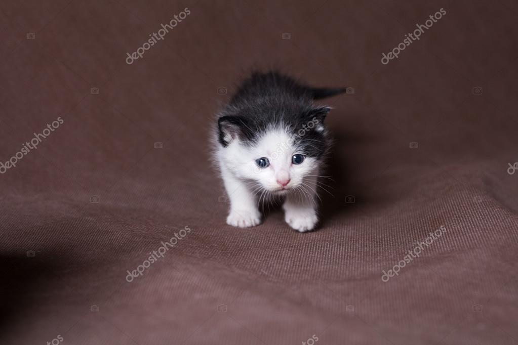 Immagini Persiano Bianco E Nero Gatto Persiano Bianco E Nero
