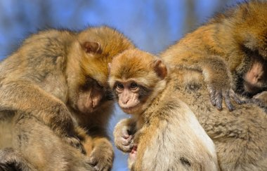Portrait of a young Barbary macaque sitting between two adult female, Netherlands