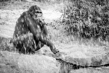 Adult female gorilla sitting under shower of hail,  Netherlands