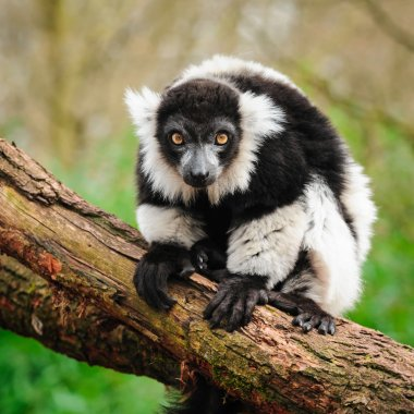 Portrait of black-and-white ruffed lemur