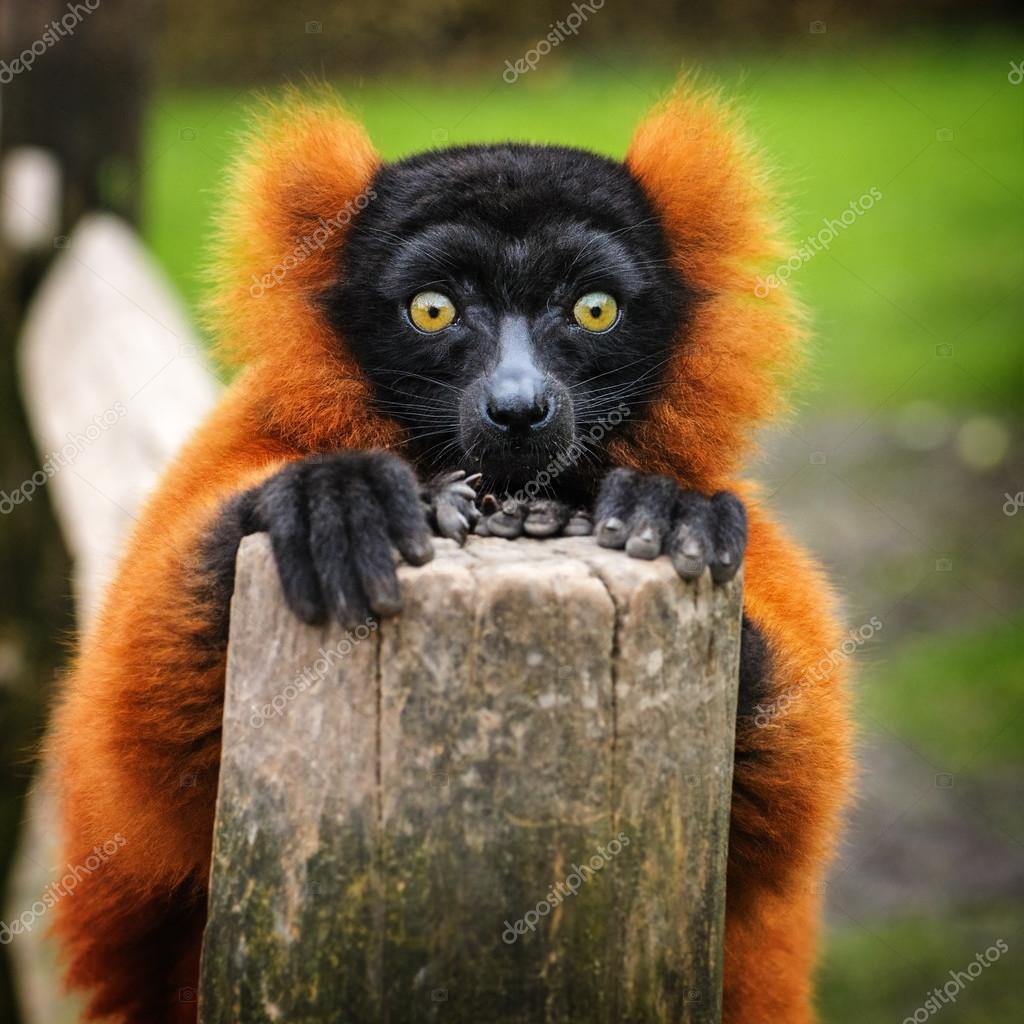 Portrait of an adult red ruffed lemur, The Netherlands