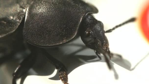Ground Beetle Sitting On The Jug Macro