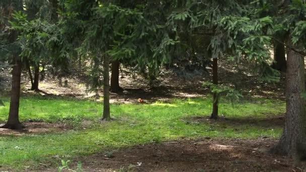 Veverka v lese - stromy a trávu