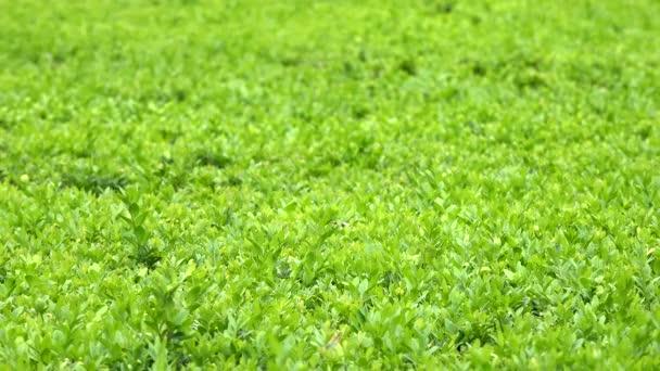 green bush - closeup