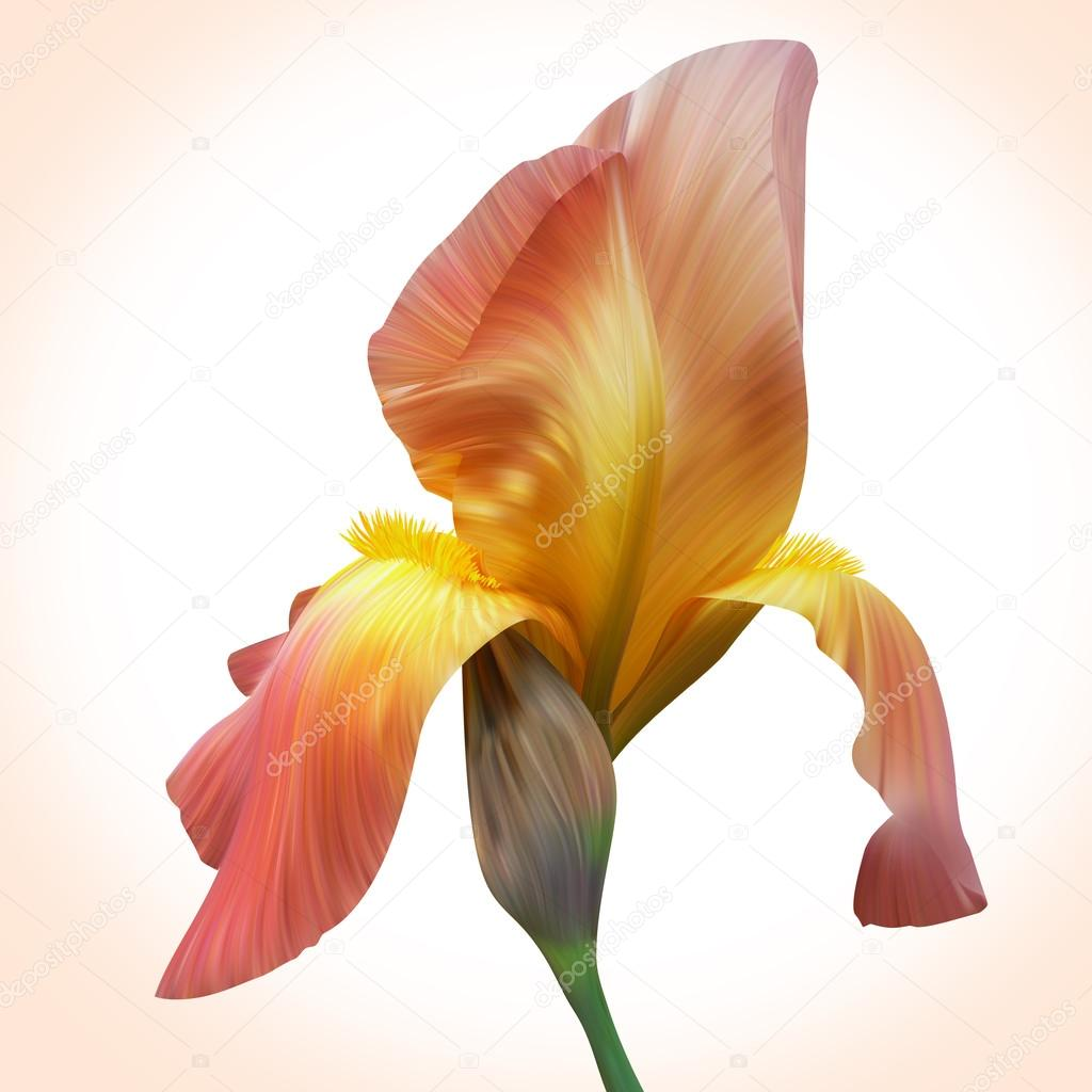 Fantasy orange iris for design of posters banner birthday card fantasy orange iris for design of posters banner birthday cards greetings cover magazines and other original style of unique flowers beauty and fresh izmirmasajfo