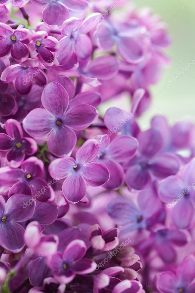 Blooming lilac purple flowers close up