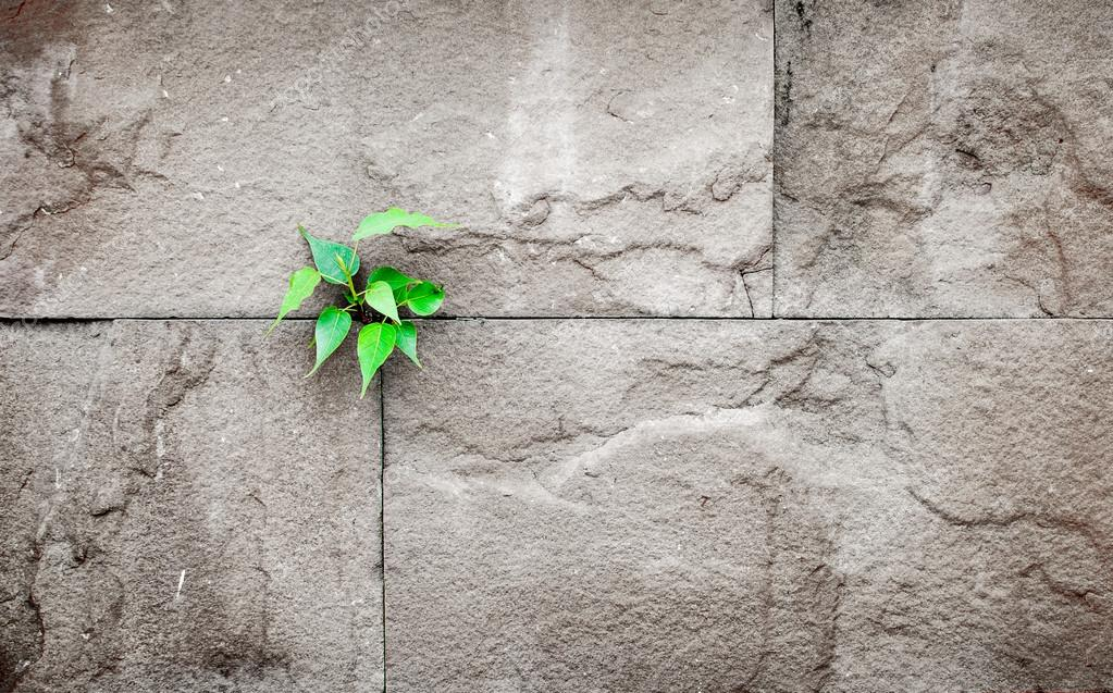 pipal leaf growing through crack in old sand stone wall,survival