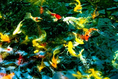 Koi fishes in pond