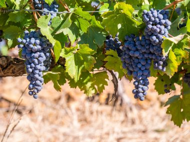 Bunches of red grapes growing