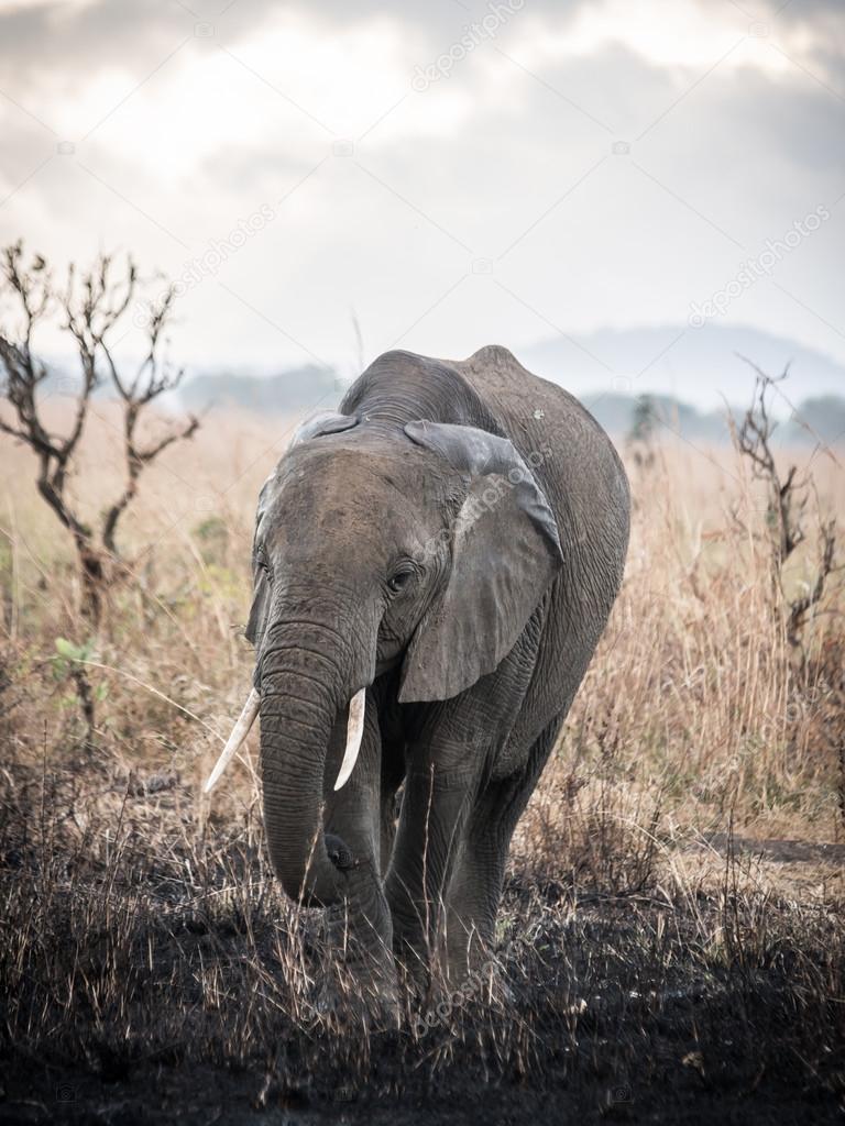 Elephant in Mikumi National Park, Tanzania.