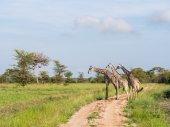 Giraffas a szavannán