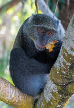 Male sykes' monkey