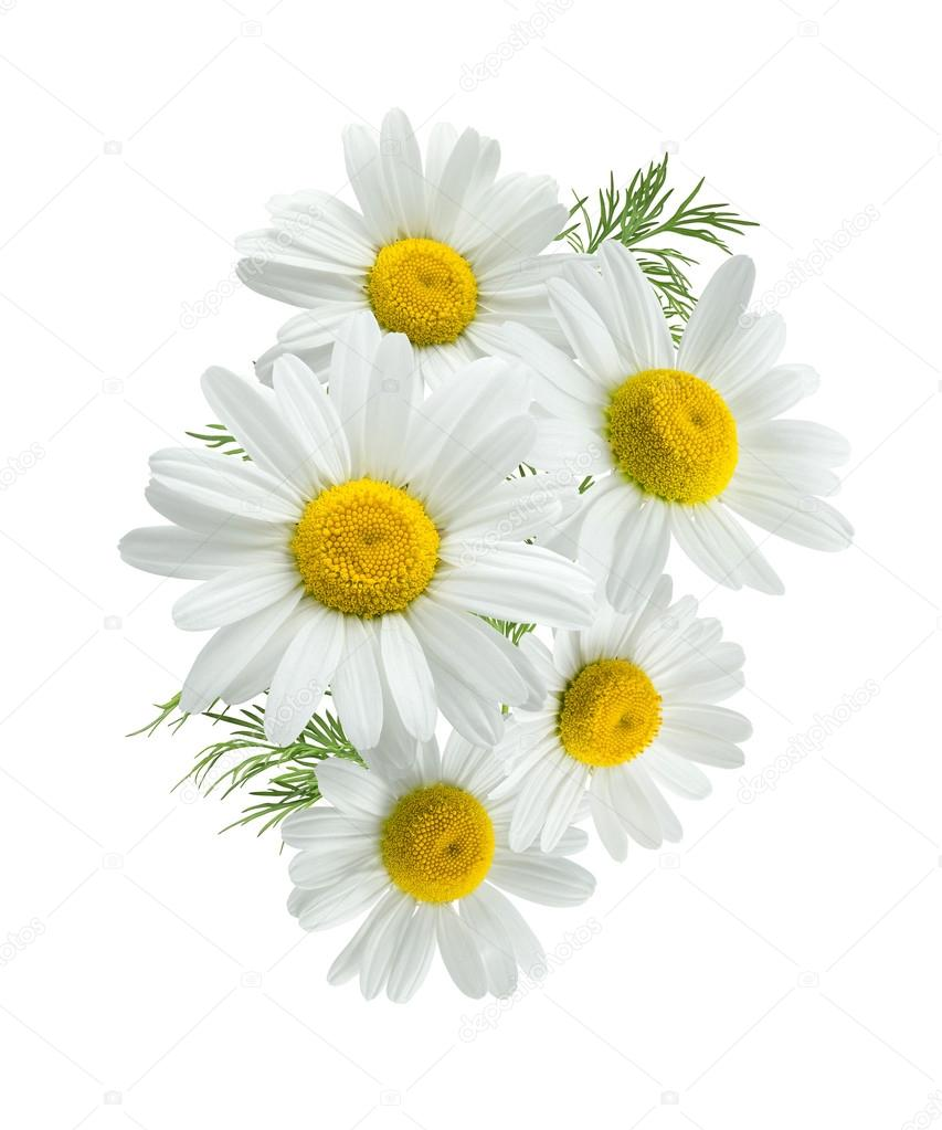 Camomile group 2 isolated on white