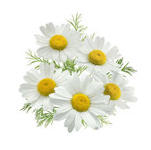 Chamomile flower group green leaves isolated on white