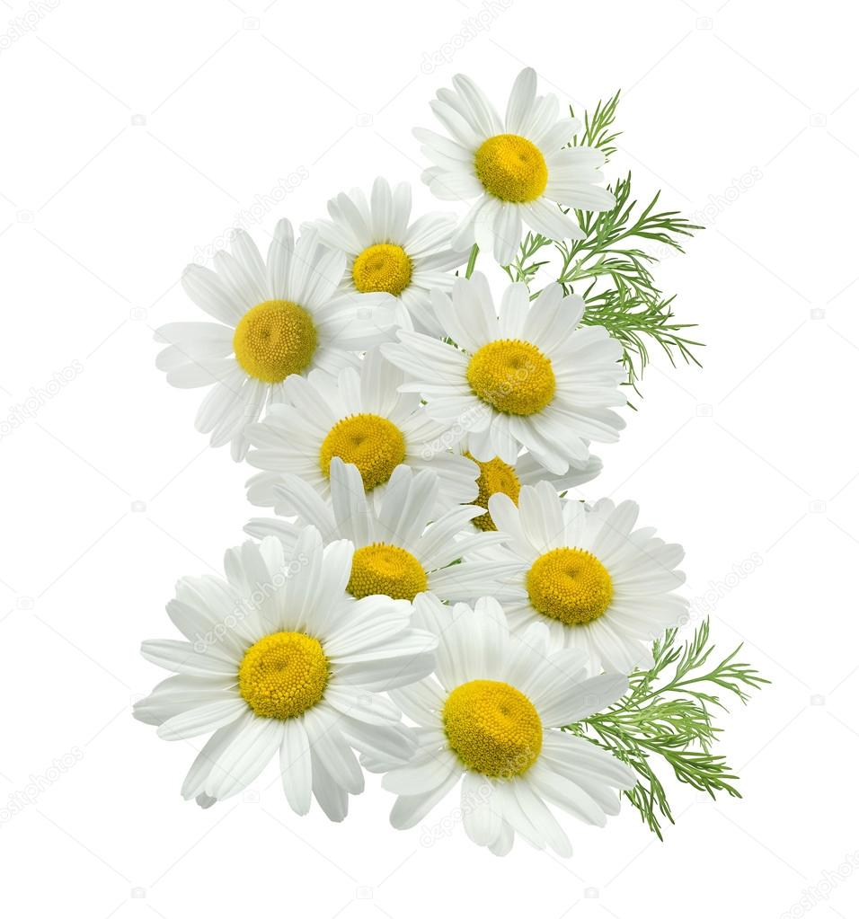 Chamomile flower vertical group left isolated on white