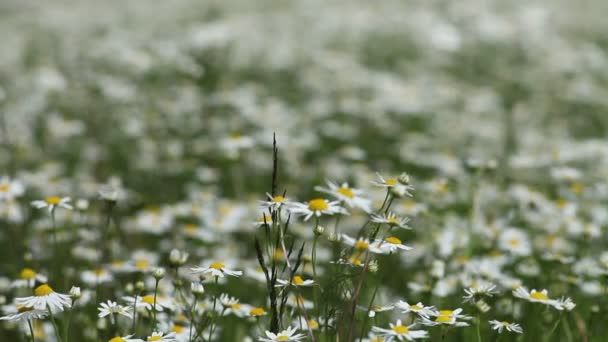Medical daisies. Camomile flowers in breeze. Change in focus.