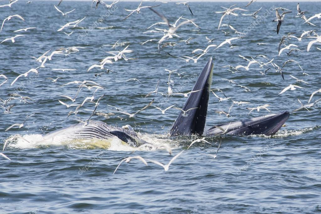 Mother & baby Bryde's whale feeding with seagulls  flying around & waiting small fish from the mouth Bryde's whale