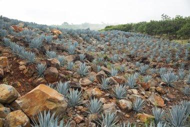 A Tequila Landscape