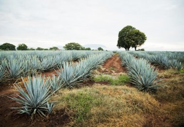 Tequila Landscape developing