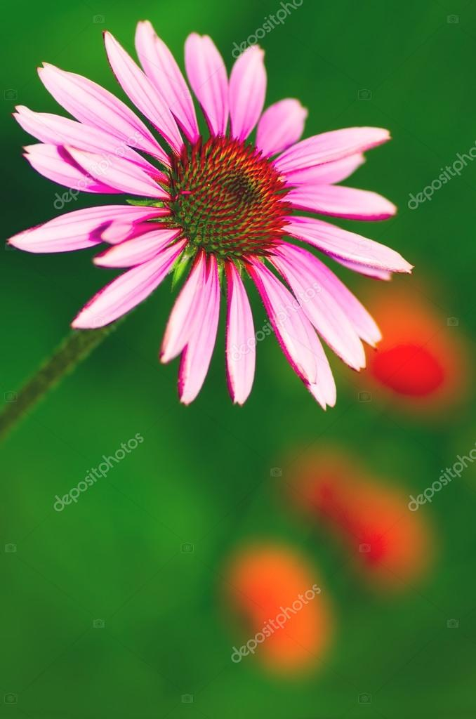 Beautiful purple echinacea