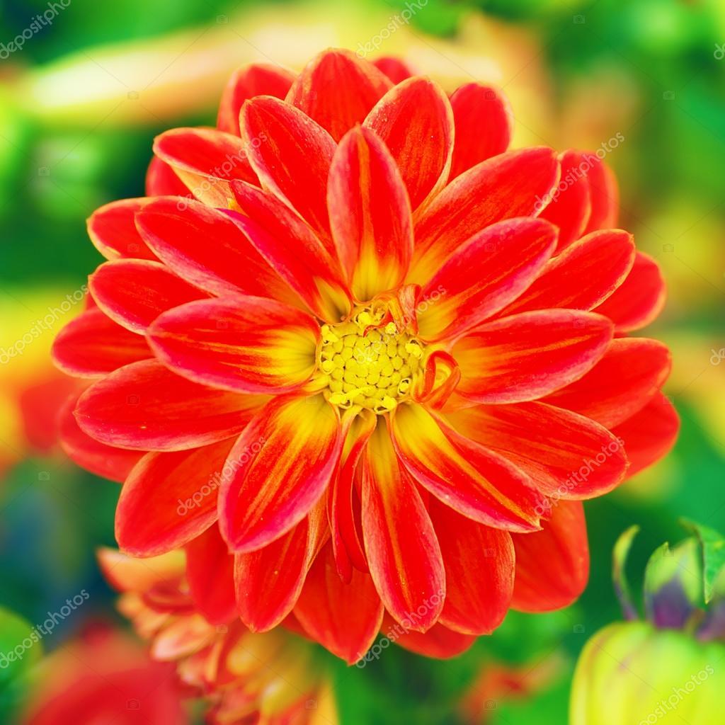 Beautiful red flower in a garden stock photo oksana sunrise beautiful red flower in a garden photo by oksana sunrise izmirmasajfo