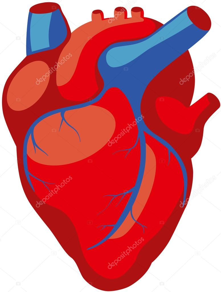 human heart anatomy — Stock Vector © asvitt #106828946