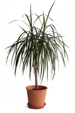Dracaena plant in flower pot