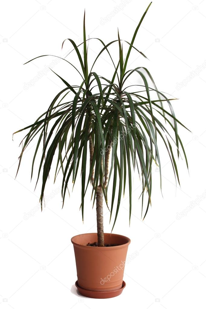 Dracaena plant in flower pot