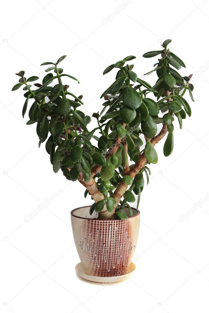 House plant Crassula