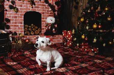 dog breed Jack Russell terrier lying beside the fireplace in the