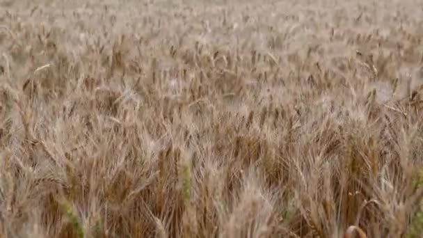 summer golden wheat field on blue sky background