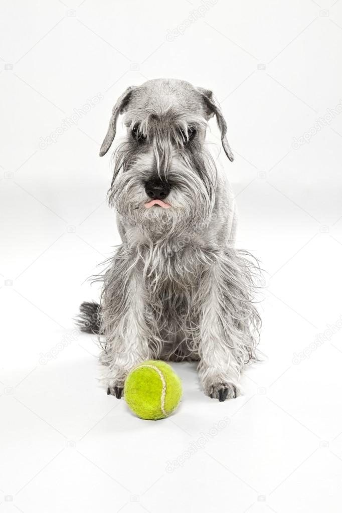 Miniature Schnauzerwith tennis ball, sitting in front of white b