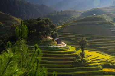 Rice fields on terraced at Mu Cang Chai, Yen Bai, Vietnam.